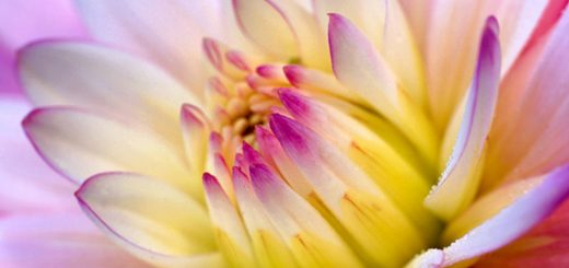 dalia-flower-wallpaper