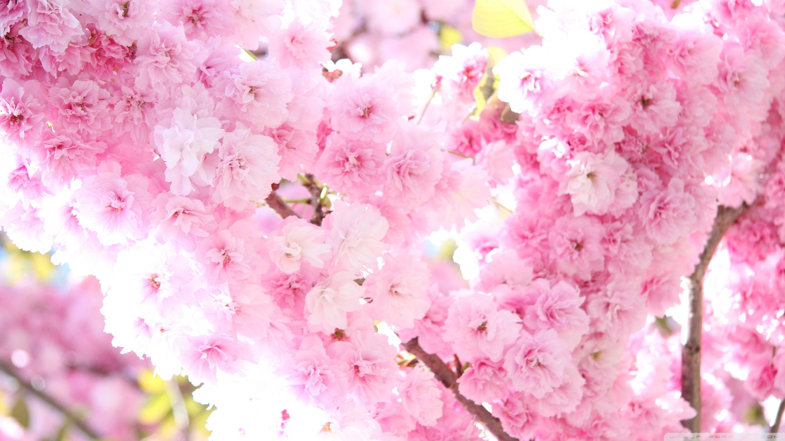 prunus_flowers-wallpaper-2560x1440