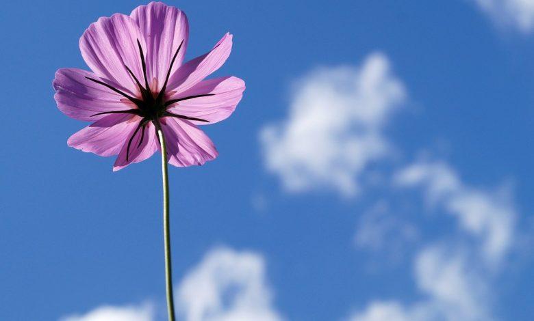 bunga langit